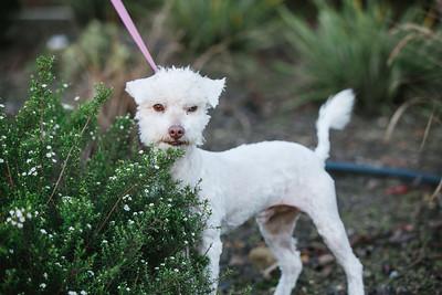 96773-white poodle-05