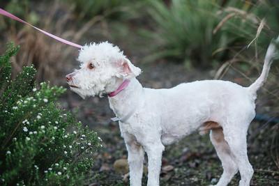 96773-white poodle-03