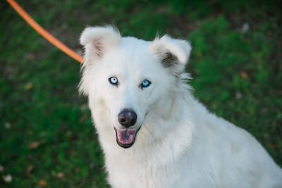 96795 White husky - 00