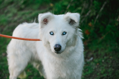 96795 White husky - 01
