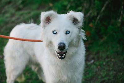96795 White husky - 02