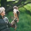 Red tail hawk-14