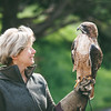 Red tail hawk-17