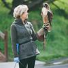 Red tail hawk-15