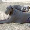 BARBIE (lab, guide pup), HARLEY (great dane),