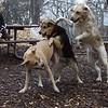 BARNI (yellow lab girl), LUCY (pitbull), MADDIE (indiana stock dog) PLAYMATES