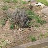 Cathy's Sage plants