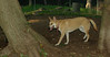 Asia (carolina dog)_010