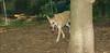 Asia (carolina dog)_014