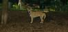 Asia (carolina dog)_009