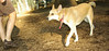 Asia (carolina dog)_001