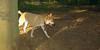 Asia (carolina dog)_011