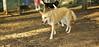 Asia (carolina dog)_003