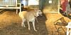 Asia (carolina dog)_016