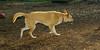 Asia (carolina dog)_006