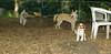 Asia (carolina dog)_015