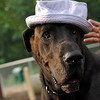 HARLEY (blue hat)