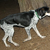 RUBY (blue tick coonhound rescue)