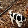 MICKIE (blue tick coonhound, 8 wks.), Sami, Foxi