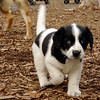 MICKIE (blue tick coonhound, 8 wks.)