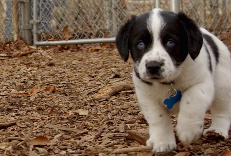 MICKIE (8 week blue tick coonhound)