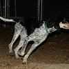 RUBY (blue tick coonhound, months)