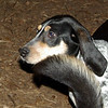 RUBY (blue tick coonhound stray)