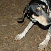 RUBY (blue tick coonhound pup)