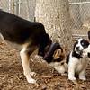 MICKIE (blue tick coonhound, 8 wks.) Sami, Marley