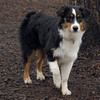 BOBBI (aussie, dallas son, 6 month) 3