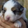 Maya (aussie pup) carol