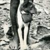 basenji pic from1929