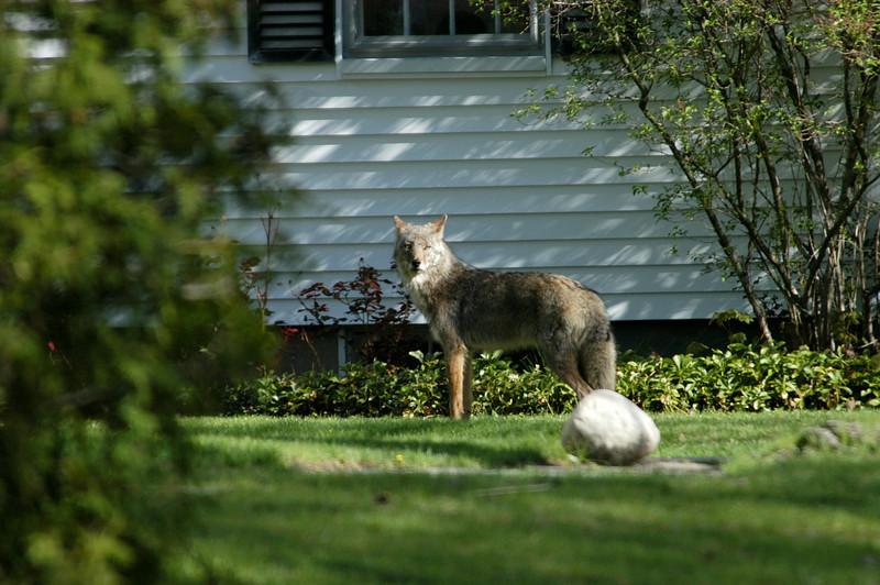 eastern coyote suburbs