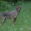 Coyote, no winter fur