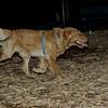 Bobby ( pup retriever)_00004