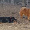 EUBIE (rottweiler pup), MIA (chow)