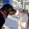 Eubie & ROCCO (bulldog, first time)