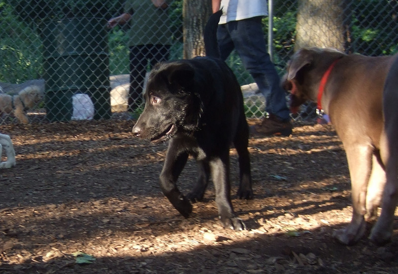 HARVEY ( guide pup)