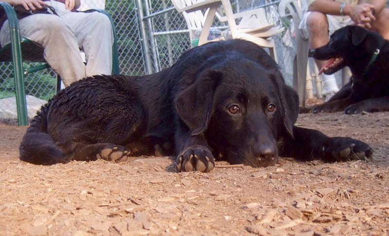 HARVEY (lab shepherd mix,guide pup, wendy's)