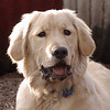HAZEL (golden retriever puppy) 2