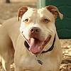 LUCY (pitbull) 2