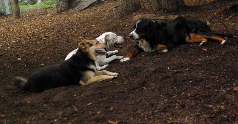 Abbey (new, bernese),  Maddie, Powder (PIC)