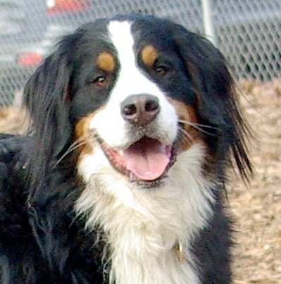 LOLA (bernese mountain dog)