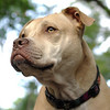 LUCY (pitbull) vigilant
