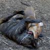 CHARLIE (girl pup), LUSCUS  (italian mastiff pup)  (09 23 07) (b)