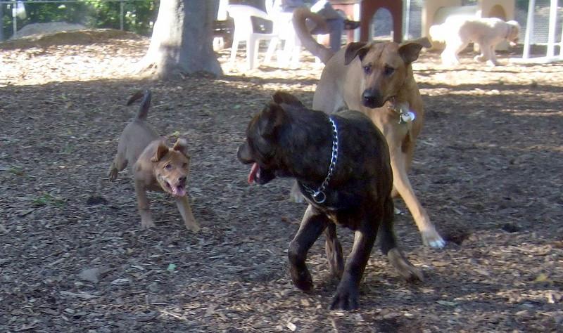 CHARLIE  ( girl pup), LUSCUS (italian mastiff pup), BUFFY (09 23 07)