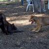 LUSCUS (M. mastiff pup) & CHARLIE ( f. puppy)