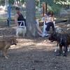 CHARLIE (girl pup),  LUSCUS (italian mastiff pup)  (09 23 07) e