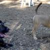 LUSCUS (M. mastiff pup) & CHARLIE ( f. puppy)  (M. mastiff pup) & CHARLIE ( f. puppy)