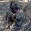 CHARLIE (girl pup),  LUSCUS  (italian mastiff pup)  (09 23 07) d